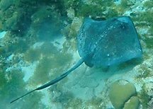 Stingray Antigua
